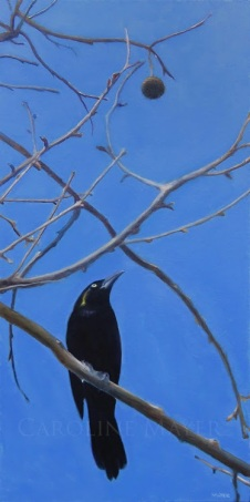 Grackle in a Sycamore